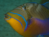 Close Up Portrait of a Queen Triggerfish