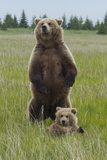 A Grizzly Bear Mother  Ursus Arctos Horribilis  Stands to Protect Her Cub