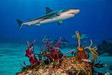 Caribbean Reef Sharks Swimming over a Reef