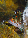 A Red Spotted Hawkfish Hiding Among Sponges