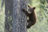As a Black Bear Cub  Ursus Americanus  Climbs  it Looks to See Where its Sibling Is