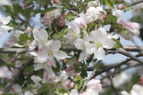 Close Up of Apple Blossoms in Springtime