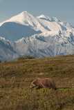 Mount McKinley Looms Above a Grizzly Bear  Ursus Arctos  in Backcountry of Denali National Park