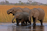 Elephants Drinking in a Spillway in Northern Botswana