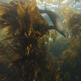 A Sea Lion Swims in a Bed of Kelp Off Santa Barbara Island
