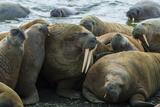 Walruses Off Hooker Island