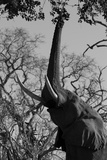 Elephant Stretching Trunk Up to Graze from a Tree in Northern Botswana