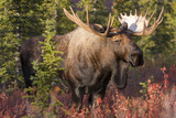 A Bull Moose  Alces Alces  Stands in the Sunlight in Denali National Park