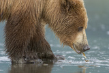 A Grizzly Bear  Ursus Arctos Horribilis  Pulls Apart a Clam