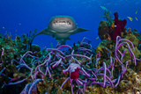 A Nurse Shark Swimming over a Reef
