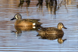 A Pair of Blue Winged Teal  Anas Discors  Swimming in a Swamp