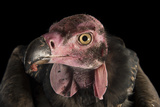 A Critically Endangered Pondicherry Vulture  Sarcogyps Calvus  at the Palm Beach Zoo