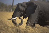 Close Up of Elephant Walking and Grazing in Northern Botswana