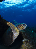 A Loggerhead Sea Turtle Swimming in a Reef
