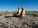 Portrait of Two Swift Fox Kits Near their Den Site on the Prairie