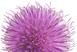 Milk Thistle Flower  Silybum Marianum