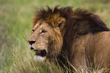 Tanzania  Africa: A Lion Roams the Tall Grass in the Serengeti