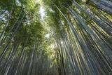 A Bamboo Forest at Sagano Bamboo Grove