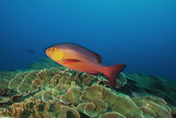A Red Snapper Cruises over a Pristine Fringing Coral Reef Off Millennium Atoll