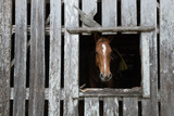 A Brown Horse Looks Out of the Window of a Weathered Barn on Adams Ranch in Fort Pierce  Florida