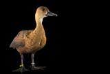An Indonesian Wandering Whistling Duck  Dendrocygna Arcuata Arcuata  at the Palm Beach Zoo