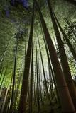 A Bamboo Forest in the Gardens of Kodai-Ji