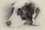 Close-Up Black and White Portrait of an Australian Shepherd's Face