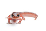 An Ensatina Salamander  Ensatina Eschscholtzii Eschscholtzii