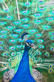 An Indian Peafowl Displays its Tail Feathers at a Tourist Attraction  Gatorama