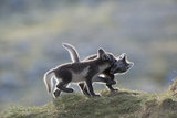 Two Arctic Fox Cubs  Alopex Lagopus  Playing