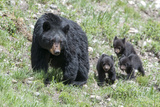 Three Black Bear Cubs  Ursus Americanus  Follow Closely Behind their Mother