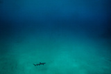 Cocos Island  Costa Rica: A White Tip Reef Shark Cruises the Sandy Bottom