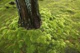 Moss around a Tree Trunk at Koinzan Saihoji  Popularly known as Kokedera  the Moss Temple