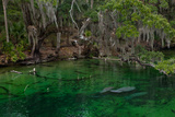 West Indian Manatees Rest Underwater in Blue Springs State Park  Orlando  Florida