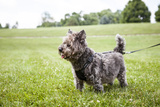 Portrait of a Cairn Terrier on a Leash in a Field