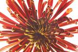 Spider Chrysanthemum Flower  Chrysanthemum Morifolium