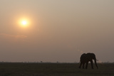 An African Elephant  Loxodonta Africana  Walking the Savanna at Sunset