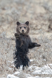 A Grizzly Cub Stands on its Hind Legs and Lifts its Paw