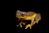 A Lesser Treefrog  Dendropsophus Minutus