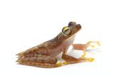 A Gunther's Banded Treefrog  Hypsiboas Fasciatus