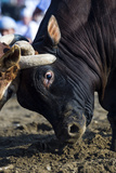 A Pair of Large Brahman Bull Heads Collide and Lock Horns During a Traditional Bull Fight