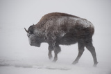 An American Bison Braves the Wind and the Snow
