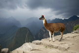 A Llama Stands on a Terrace High in the Andes
