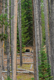 A Black Bear and its Cub Peer Through the Trees