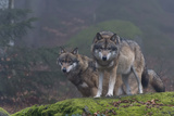 Two Gray Wolves  Canis Lupus  on a Mossy Boulder in a Foggy Forest