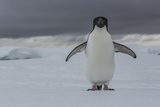 An Adelie Penguin  Pygoscelis Adeliae  on the Antarctic Peninsula