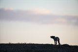 A Silhouetted Arctic Fox  Alopex Lagopus  Barking