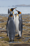 Four Adult King Penguins Stand on a Beach