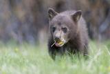 A Black Bear Cub  Ursus Americanus  Chews on a Dandelion