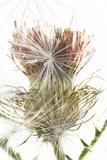 Milk Thistle Seed Head and Dispersing Seeds  Silybum Marianum
